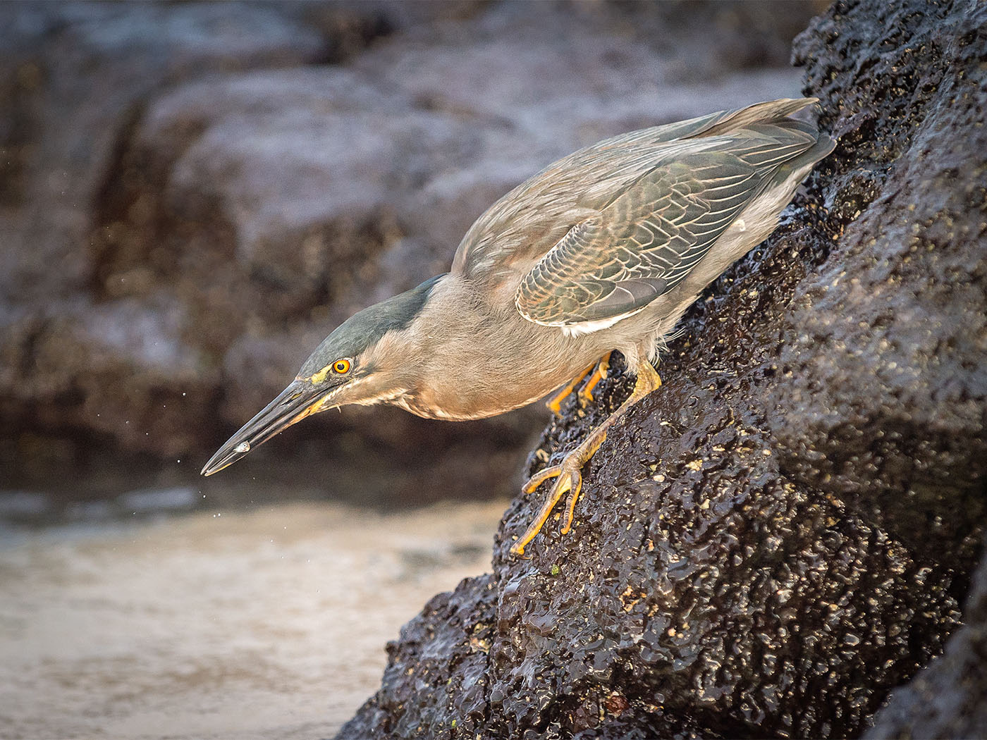 Lava Heron with Catch.jpg