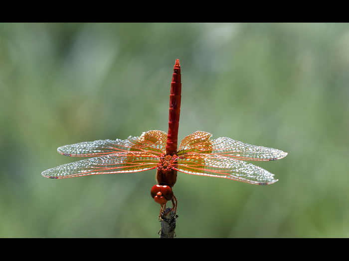 red darter south africa.jpg